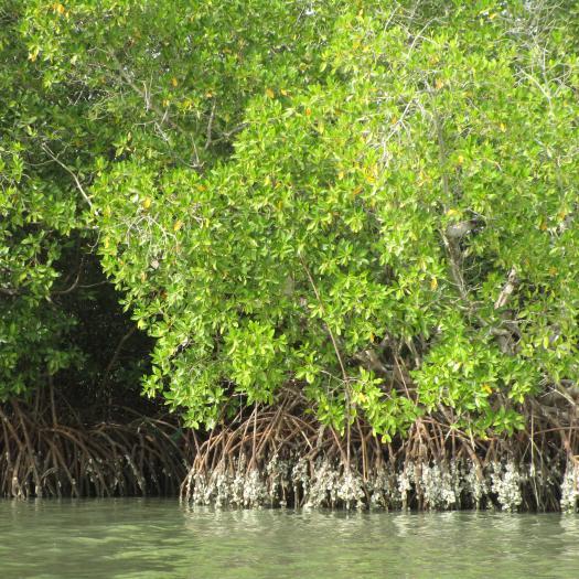 mangrove, Sénégal